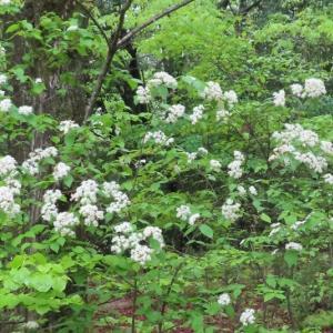 春雨に白く