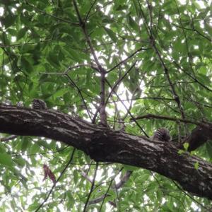 コゲラ2羽と会う