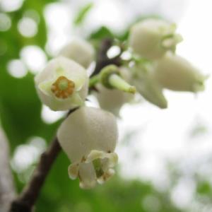 続・シャシャンボの花