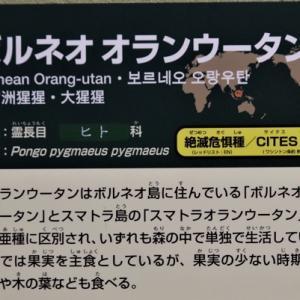 札幌市円山公園 オランウータンの赤ちゃん