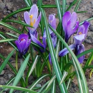 クロッカスが咲いたら春の花たちがやってきます。