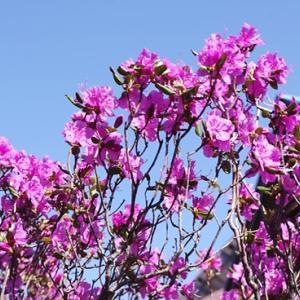 札幌市勝手に桜の開花宣言させて頂きます。(2021.04.21)