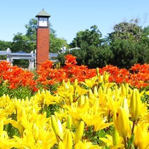百合が原公園にユリの季節が到来しました。
