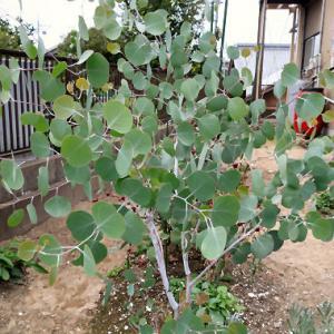 ジモティーでポポラスの木が売れました。嬉しい限りです。