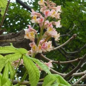 狂い咲きベニバナトチノキ