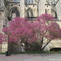セイヨウハナズオウの花の季節です。