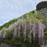 インスタ映えするブールジュの藤の花スポット