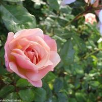 """フォトジェニックなバラを""""注目すべき""""プレフィショー公園で"""