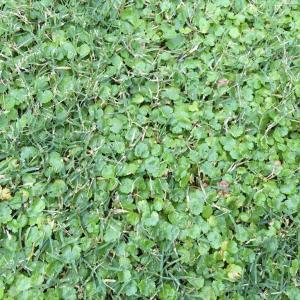芝生に生えるチドメグサの駆除には「キレダー水和剤」