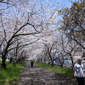 """神さんとふたりで""""桜散歩"""""""