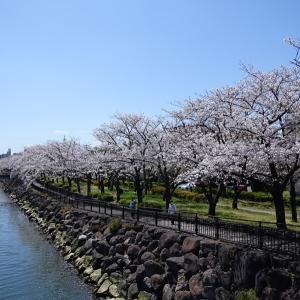 裏川桜散歩 にぎりずし花見弁当