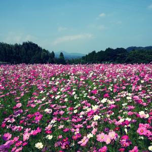秋桜畑 石蕗の花