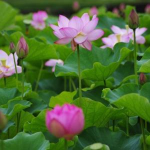 〔過去画像〕臼杵石仏公園の蓮の花