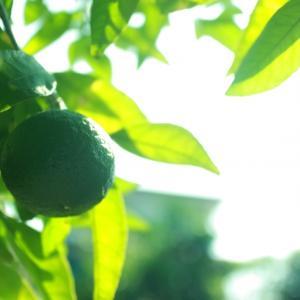 シークワーサーのノビレチンは認知症予防の成分って本当?沖縄の長寿村の秘密