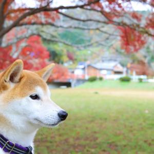 柴犬と紅葉、定光寺公園でお散歩