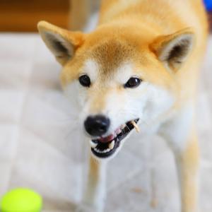 柴犬のフードアグレッシブ、食べないでひたすら守る…近づくと怒る