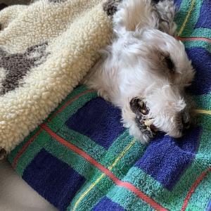 #ごはんも水も口にせず、眠ったままの愛犬ラブ。(削除ブログ復活㉔)