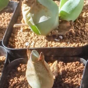 葉が大きく展開、ケイリドプシス2種