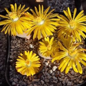 リトープス小型二種 黄花満開です