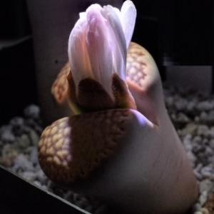 リトープスの花弁 ほんのりサクラ色