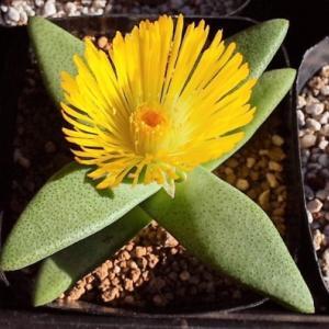 プレイオスピロス カヌス 実生二年で初花