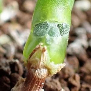 モニラリア ピシフォルミス 分枝の始まり