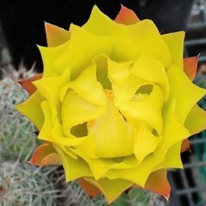 タヨペンシスの花、ハナアブ! タッチアンドゴー