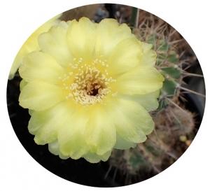 ロビビア黄裳丸の花の下に隠れていた