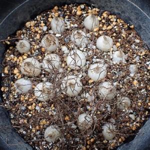 アルブカ二種、実生一年目の鱗茎