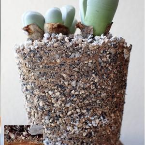 リトープス、用土の外側と白花一輪など