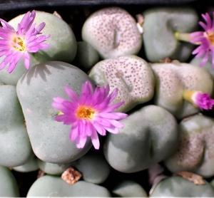 久しぶりにコノフィツムの薄紫
