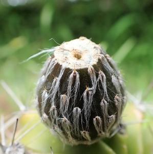 サボテンの果実の毛