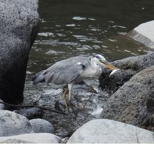 鮎壺の滝でアオサギ 小魚捕えた。