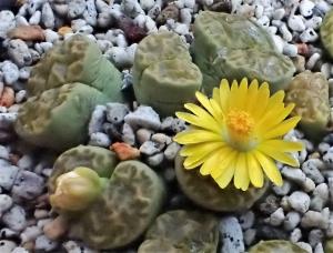 シワシワの黄鳴弦玉に黄花です