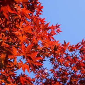 春の紅葉 平岡樹芸センター