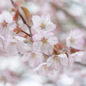 札幌の桜 2021.5.2
