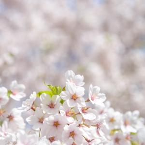札幌の桜 2021.5.8