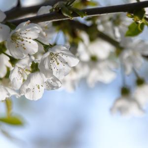 庭の桜 2021.5.11