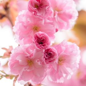 カンザン(八重桜)2021.5.17