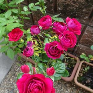バラバラに切った薔薇