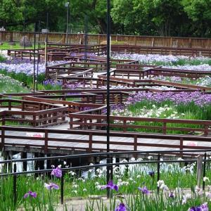 六日の菖蒲、十日の菊