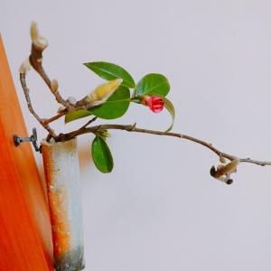2月の茶花 木蓮と侘助