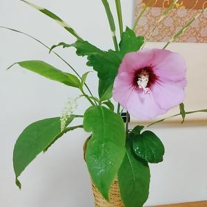 7月の茶花 木槿、洋種山牛蒡、矢筈薄