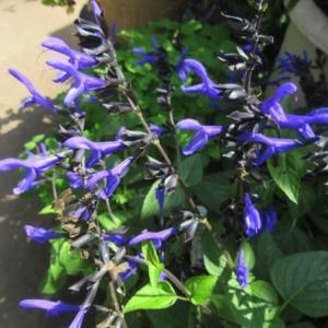 メドーセージとフロックス、こぼれ種から開花!