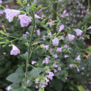 小さい花のカラミンサとコレオプシス レッドシフト
