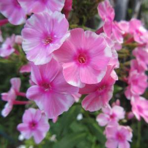 真ん丸い花の今年のニューフェイス 2番花