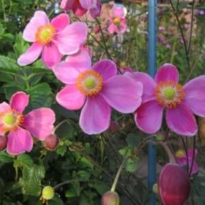 秋明菊 ハドスペンと赤花八重とニコチアナ'シルベストリス'