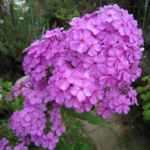 宿根フロックス!我が家生まれの自然交配種、お気に入りのスミレ色。