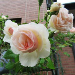 ヘリテージ(ER) とクロッカス.ローズ(ER) 2番花と カラミンサ