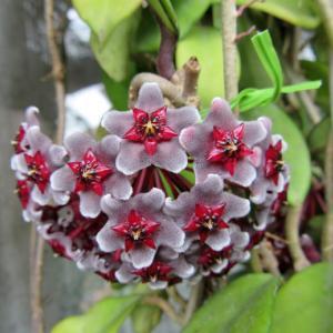 豪華なホヤの花 ロイヤルハワイアンパープル